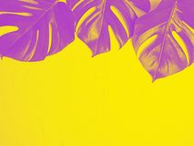 Purple monstera leaves on yellow background. royalty free stock image