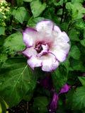 Purple Moon Flower in Denver, Colorado Royalty Free Stock Image