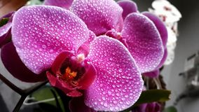 Purple moon orchid royalty free stock image