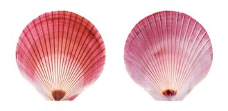 Purple Moon Scallop Royalty Free Stock Photos