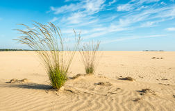 Purple Moor Grass in a sandy area Royalty Free Stock Images
