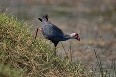 Purple moorhen descends grassy hill by water Royalty Free Stock Images