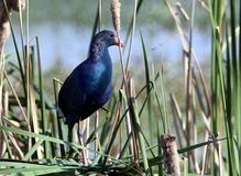 Purple moorhen Royalty Free Stock Images