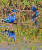 Purple moorhens bird Stock Image