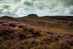 Purple moors Royalty Free Stock Images
