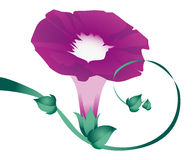 Purple Morning Glory Stock Images
