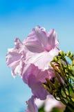 Purple morning glory against blue skies Stock Photo