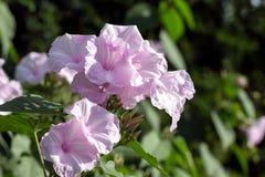 Purple morning glory blooms Stock Image