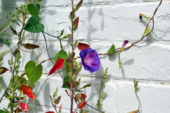 Purple Morning Glory. Bright purple morning glory and other vines and plants against a white brick wall royalty free stock images