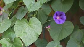 Purple morning glory flower stock video