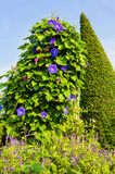 Purple Morning glory flower. Royalty Free Stock Photo