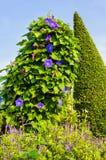 Purple Morning glory flower. Royalty Free Stock Photo
