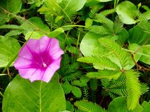 Purple morning glory flower Stock Images