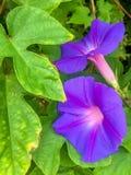 Purple morning glory Royalty Free Stock Photos