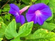 Purple morning glory Stock Image
