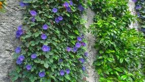 Purple morning glory. Climbing flowers on the wall stock video