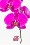 Purple Moth orchids close up Royalty Free Stock Images