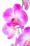 Purple Moth orchids close up Royalty Free Stock Photo