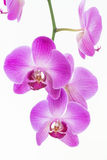Purple Moth orchids close up Stock Photo