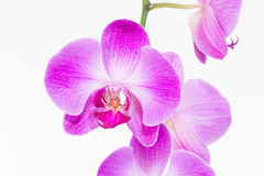 Purple Moth orchids close up Royalty Free Stock Image