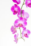 Purple Moth orchids close up Stock Image