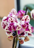 Purple motley orchid. Stock Images