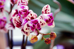 Purple motley orchid Royalty Free Stock Image