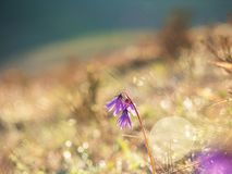 Purple mountain flower in a meadow with a beautiful bokeh effect Royalty Free Stock Image