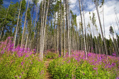 Purple mountain flowers landscape with path and beech trees fore Stock Images