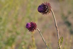 Purple Mountain Weed Thistle Blossoms Stock Photos