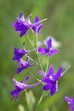 Purple mouse peas flowers Stock Photos