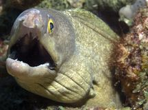 Purple Mouth Moray Eel. Gymnothorax vicinus, picture taken in south east Florida waters Stock Photography