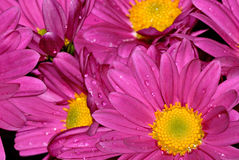 Purple mum background. Pretty purple & yellow chrysanthemums in brilliant color Royalty Free Stock Images
