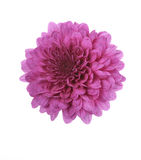 Purple Mum Flower Royalty Free Stock Photography