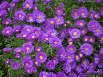Purple Mums Royalty Free Stock Photography