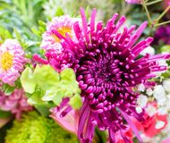 Purple mums in the garden with shallow depth of field. stock photography