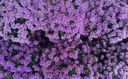Purple mums Royalty Free Stock Image