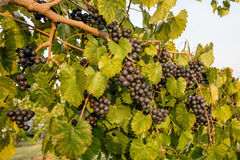 Purple Muscadine Grapes on Vine. Muscadine vine with lots of  purple grapes showing thick branch in vineyard Royalty Free Stock Photo
