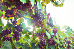 Purple Muscadine Grapes on Vine Stock Photo