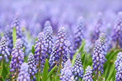 Purple muscari botryoides Royalty Free Stock Photo