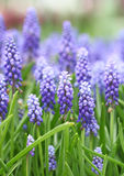 Purple muscari botryoides field Royalty Free Stock Photography