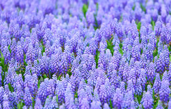 Purple muscari botryoides field Royalty Free Stock Images