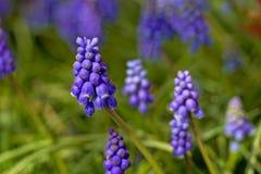 Purple muscari flowers in the garden, selective focus Stock Photos