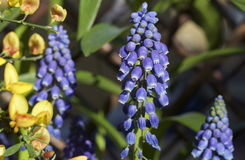 A Purple Muscari Stem Standing upright Stock Images
