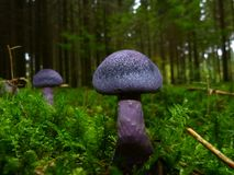 Purple Mushrooms on Green Field Stock Photos