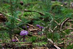 Purple Mushrooms on Ground Royalty Free Stock Photography