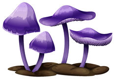 Purple mushrooms Royalty Free Stock Image