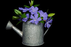 Purple myrtle blossoms in metal pitcher Royalty Free Stock Photo