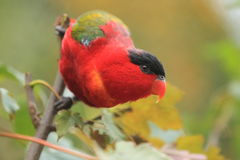 Purple-naped lory Royalty Free Stock Photos