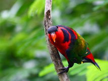 Purple Naped Lory Royalty Free Stock Photography